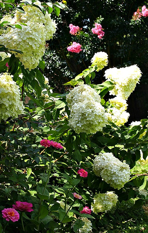Flowers Your Grandma Used to Grow in Her Garden- Limelight Hydrangea | old fashioned garden, what to grow in a cottage garden, #garden #gardening #flowers #cottageGarden #hydrangea #daylily #foxglove #roses