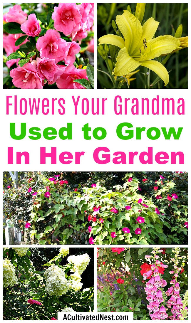 Old-Fashioned Flowers Your Grandma Used to Grow in Her Garden- Ever wonder what flowers your grandma used to grow in her garden? My grandmother had a lovely cottage garden in the 1950s full of many of these flowers! | old fashioned garden, what to grow in a cottage garden, #gardening #flowers #garden #cottageGarden #hydrangea #daylily #foxglove #roses