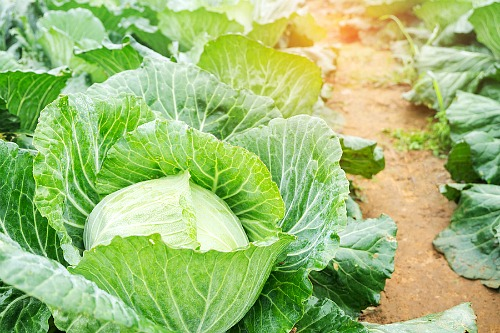 Frugal Vegetables Your Grandma Used to Grow in Her Garden- Cabbage. | #backyardGarden #saveMoney #frugal #growYourOwn #vegetables #frugalLiving #moneySaving #moneySavingTips #gardening #garden