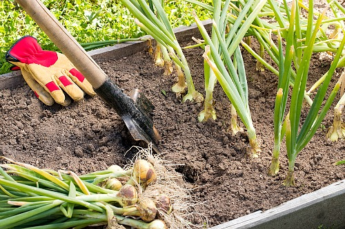 Frugal Vegetables Your Grandma Used to Grow in Her Garden- Onions. | #backyardGarden #saveMoney #frugal #growYourOwn #vegetables #frugalLiving #moneySaving #moneySavingTips #gardening #garden