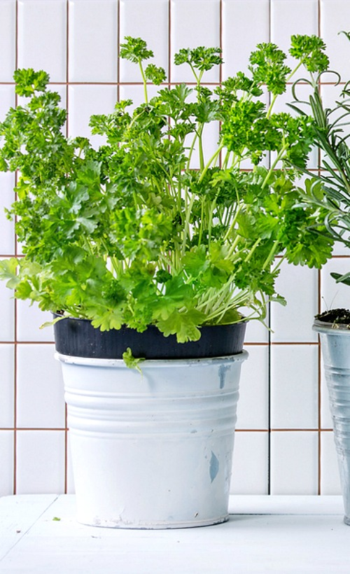 7 Tips for Growing Parsley