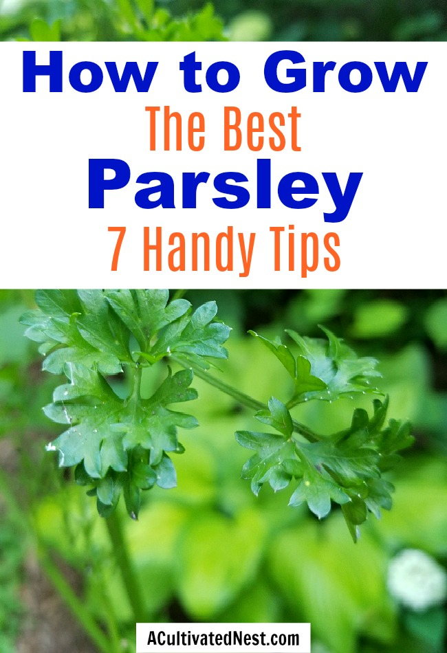 7 Tips for Growing Parsley- Parsley is a very useful (and tasty) herb that can be very easy to grow, if you know a couple of important things! Here are 7 handy tips for growing parsley!  | #parsley #herbs #growYourOwn #herbGarden #gardening  #garden #gardeningTips