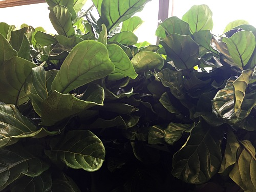 How to Care for a Fiddle Leaf Fig- While fiddle leaf figs may be finicky, they're not hard to keep alive if you know the right tips! Here is how to care for a fiddle leaf fig! | #houseplant #gardening #fiddleLeafFig #indoorGarden #plant #indoorPlant #gardeningTips #indoorGardening