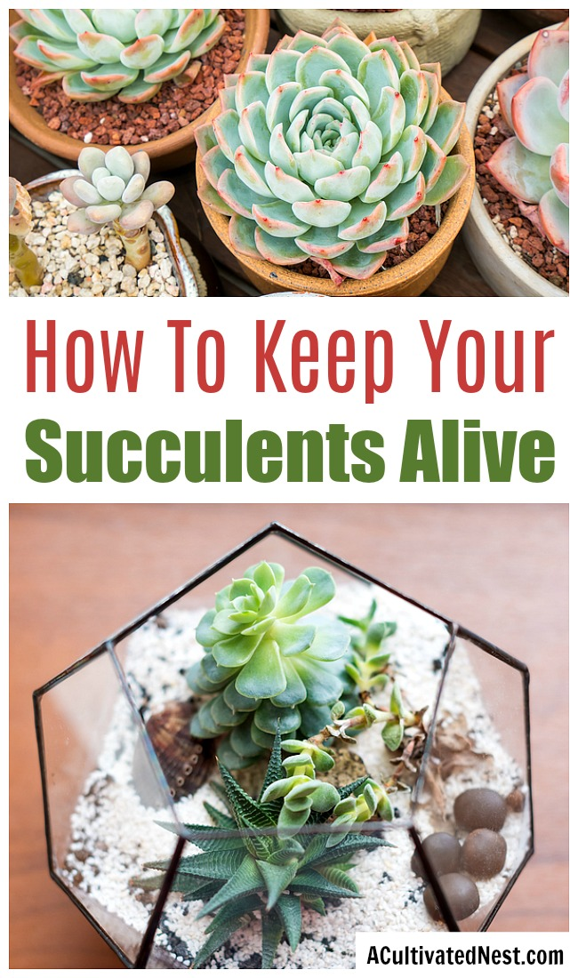 How To Keep Your Succulents Alive- While succulents are pretty hardy, they still can be killed by improper care. If you want to learn how to not kill your succulents, then you need this beginner's guide to succulent care! These handy tips on how to keep your succulents alive will keep your succulents thriving! | how to take care of succulents, how to grow succulents, how to propagate succulents, how to decorate with succulents, #succulents #indoorGardening #indoorPlants #gardeningTips