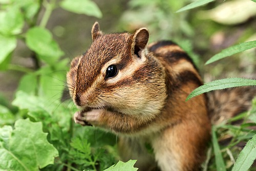 7 Ways to Keep Chipmunks Out of Your Garden- Tired of chipmunks eating your bulbs and ruining your garden? You need to try these 7 clever ways to keep chipmunks out of your bulbs! | how to repel chipmunks, how to deter chipmunks, #gardeningTips #gardening #ACultivatedNest