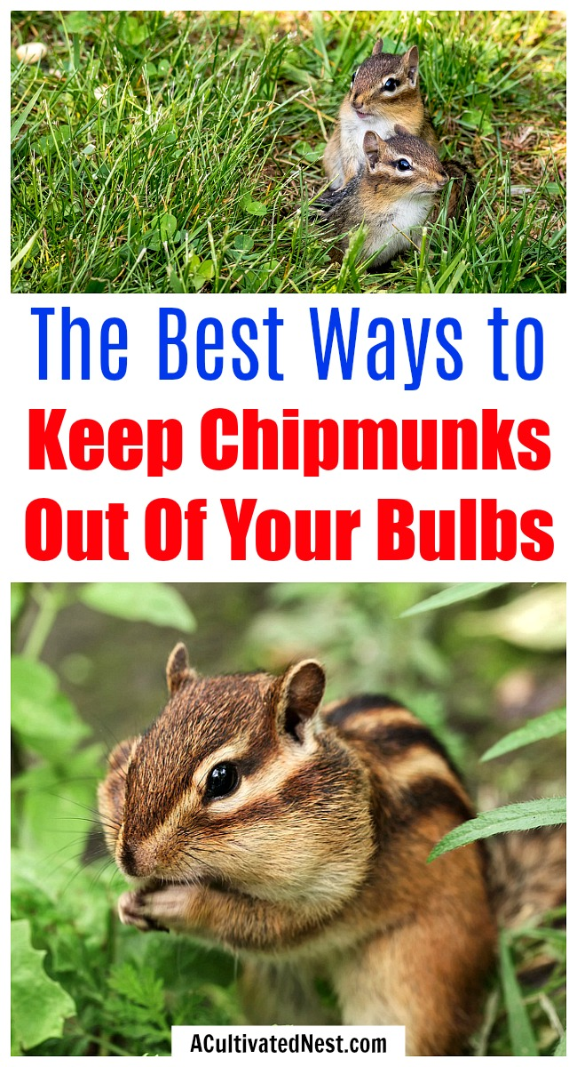 7 Tips for Keeping Chipmunks Out of Your Bulbs- If you're tired of chipmunks eating your bulbs and ruining your garden, then you need to try these 7 clever ways to keep chipmunks out of your garden! | how to repel chipmunks, how to deter chipmunks, #gardening #gardeningTips #ACultivatedNest