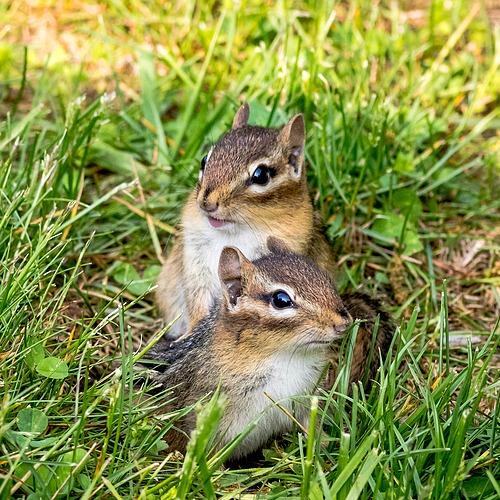 7 Tips for Keeping Chipmunks Out of Your Bulbs- Tired of chipmunks eating your bulbs and ruining your garden? You need to try these 7 clever ways to keep chipmunks out of your bulbs! | how to repel chipmunks, how to deter chipmunks, #gardeningTips #gardening #ACultivatedNest