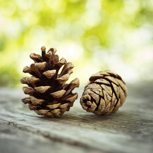 6 Pine Cone Gardening Hacks- Did you know that pine cones can be beneficial in your garden? Here are 7 genius ways to use pine cones in your garden that every gardener needs to try! | gardening hacks, frugal gardening, what to do with pine cones, #gardening #garden #gardeningTips #ACultivatedNest