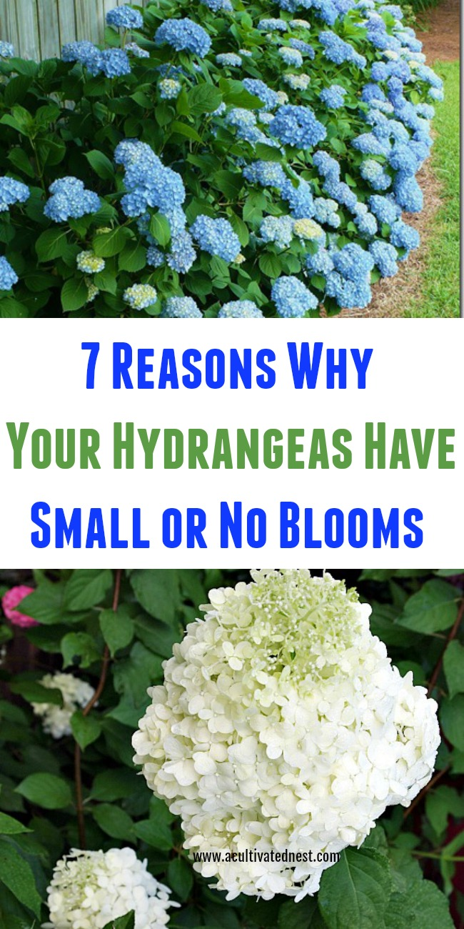 7 Reasons why your hydrangeas have small or no blooms